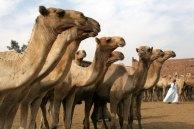 line of camels