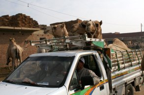 truck with camels