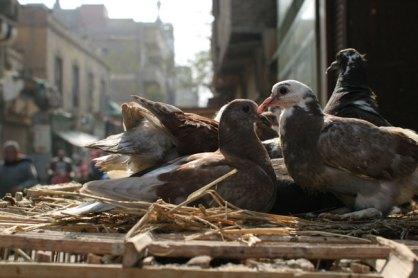 Pigeons Zuweila