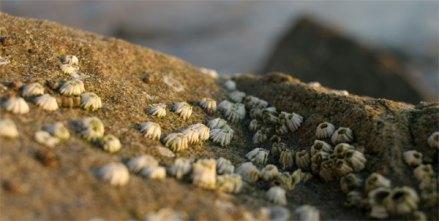 barnacles santa cruz