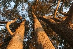 trees santa cruz