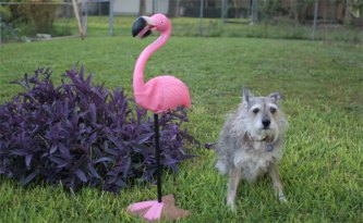 Sam the dog with lawn flamingo