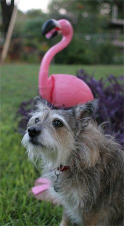 Lawn flamingo and sam the dog