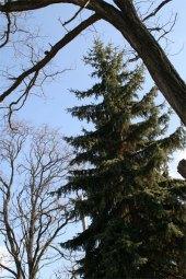 Pine Trees Ohio