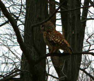 Owl on Skyline drive in Virginia