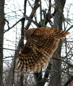 Owl on Skyline Drive