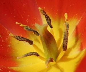 Closeup of Stamen on Tulip