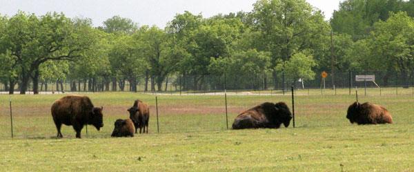 bison at camp verde