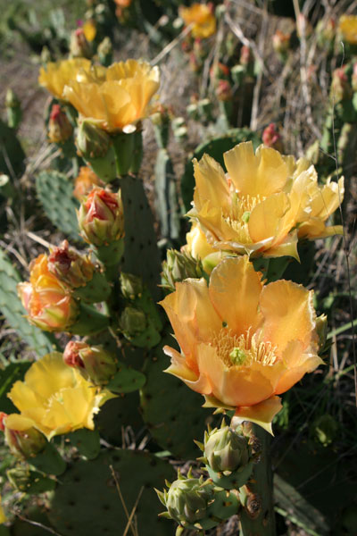 Prickly pear flowers yellow