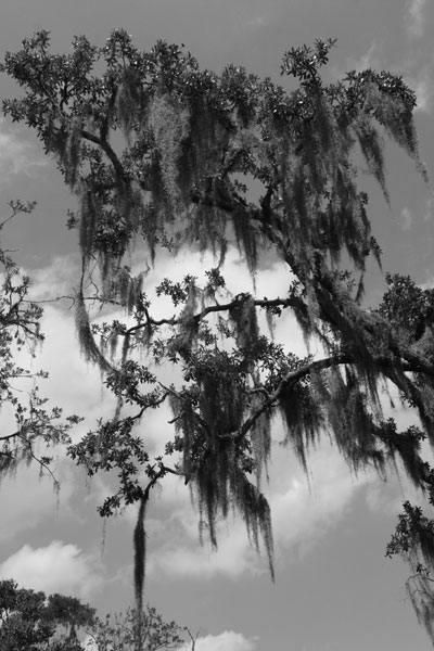 Bayou tree & moss in black and white