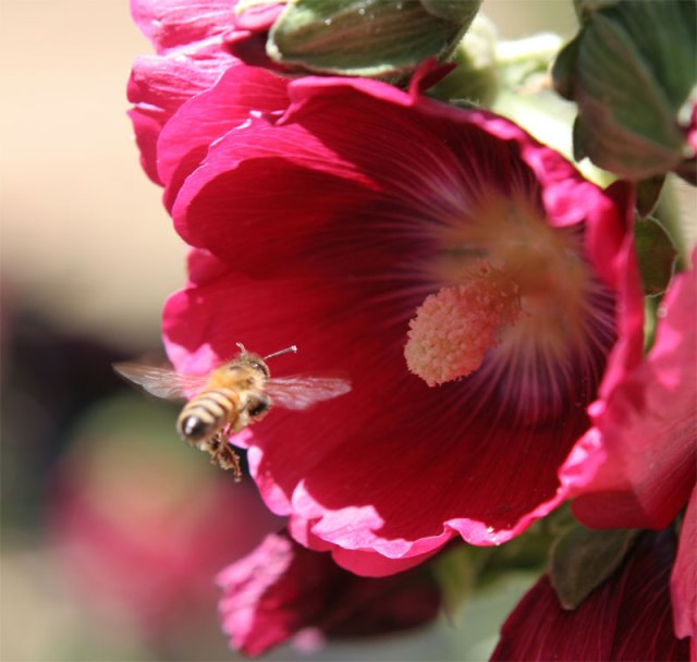 Another bee on a hollyhock