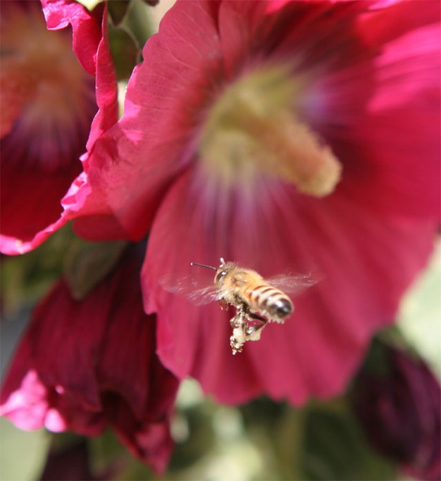 Bee and Hollyhock flowers