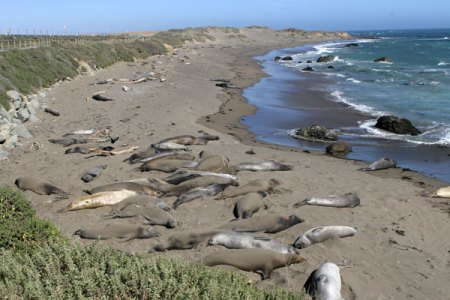Elephant Seals basking on beach