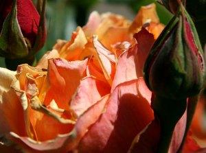 rose in Golden Gate Park
